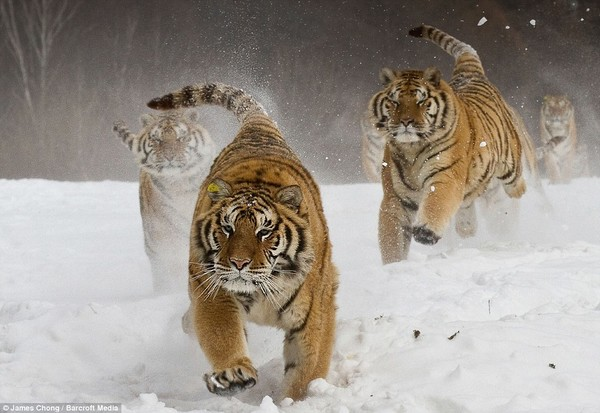 Tiger in Snow Wallpapers  HD Wallpapers