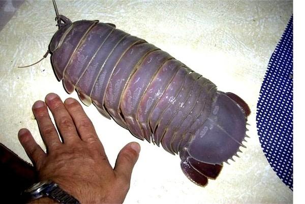 Огромных размеров таракан был пойман в Индонезии. Фото